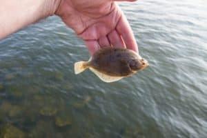Angler holding a flounder