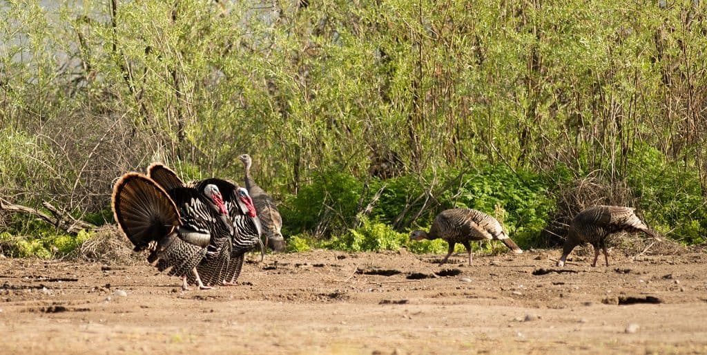 Two male Tom Turkeys courting female hens